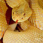 Albino Brazilian Rattlesnake Poster