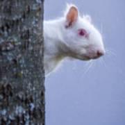 Albino Squirrel Poster
