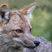 Alert Fox  Poster