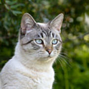 Alert Tabby With Blue Eyes Poster