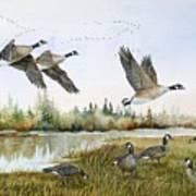 Aleutian Geese At Lake Earl Poster