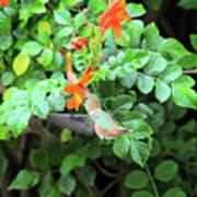 Allen's Hummingbird In Cape Honeysuckle Poster