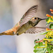 Allen's Hummingbird On Golden Currant Poster