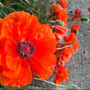 Alley Orange Red Poppies  Poster