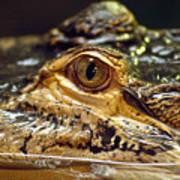 Alligator Eye Close Up-2 Poster