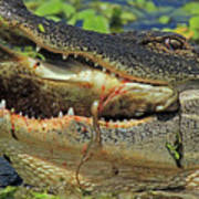 Alligator With Tilapia Poster
