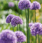 Allium 5 Poster
