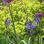 Allium And Camassia Poster