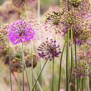 Allium Flowers Poster