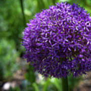 Allium Gladiator Closeup Poster