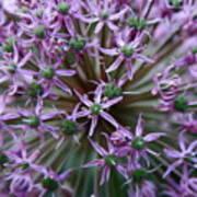 Allium Macro Poster