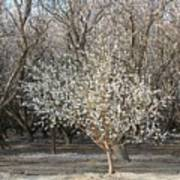 Almond Orchard 1 Poster