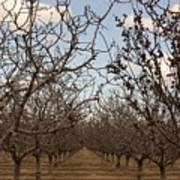 Almond Orchard Poster by Denice Breaux