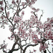 Almond Tree In Flower Poster