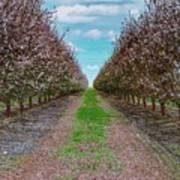 Almond Trees Of Button Willow Poster