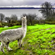 Alpaca Enjoying The View. Poster