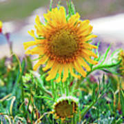 Alpine Sunflower In Summer Poster