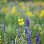 Alpine Sunflower Poster
