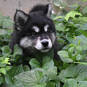 Alusky Pup Peaking Out Of Green Foliage Poster