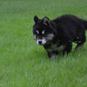 Alusky Puppy Creeping Through Green Grass Poster