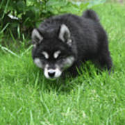 Alusky Puppy Stalking Through Tall Green Grass Poster