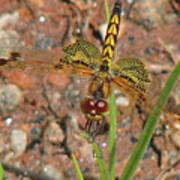 Amanda's Pennant Dragonfly Female Poster
