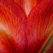 Amaryllis Flower Petals Poster