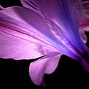 Amaryllis Glow Poster
