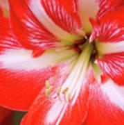 Amaryllis Red Poster