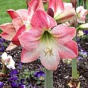 Amazing Amaryllis - Pink And White Apple Blossom Hippeastrum Hybrid Poster