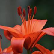 Amazing Blooming Orange Lilies Flowering In A Garden  Poster