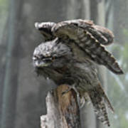 Amazing Frogmouth Bird With His Wings Extended Poster