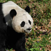 Amazing Giant Panda Bear Sitting In A Grass Field Poster