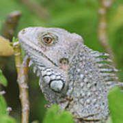Amazing Gray Iguana Sitting In The Top Of A Bush Poster