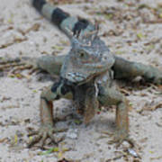 Amazing Iguana With A Striped Tail On A Beach Poster