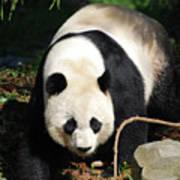 Amazing Sweet Chinese Giant Panda Bear Walking Around Poster