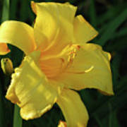 Amazing Yellow Lily Flowering In A Garden Poster
