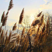 Amber Waves Of Pampas Grass Poster