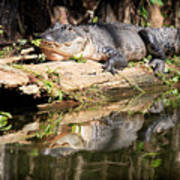 American Alligator With Caterpillar Poster