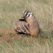 American Badger Cub Climbs On Its Mother Poster