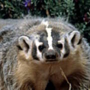 American Badger On Alert Poster
