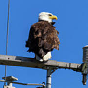 American Bald Eagle On Communication Tower Poster