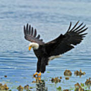 American Bald Eagle Sets Down On Fish Poster