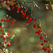 American Barberry With Raindrops Poster