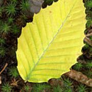 American Beech Leaf Poster