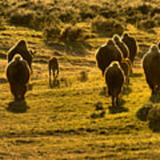 American Bison Sunset March Poster