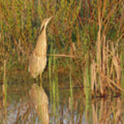 American Bittern Close To Shore Poster