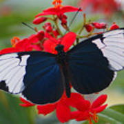 American Butterfly Poster