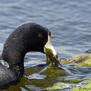 American Coot Feeding Poster