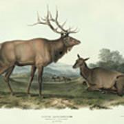 American Elk Poster